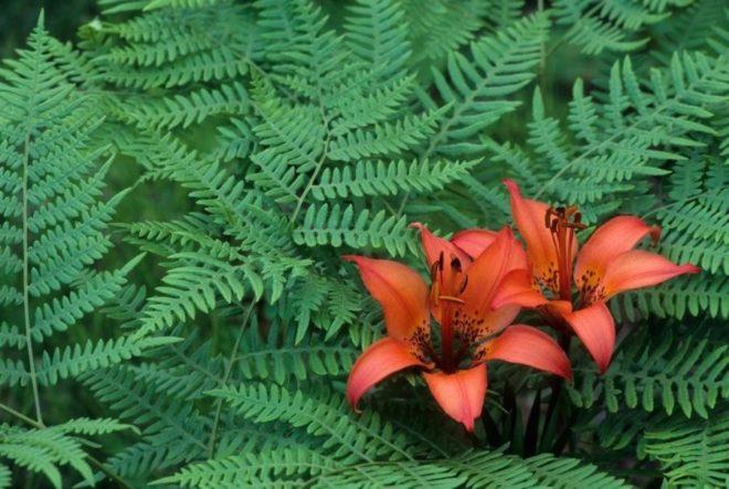 Цветки папоротника
